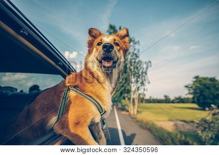 Dog Looks Out Of Car Window And Travel By Car. Enjoying Road Trip.
