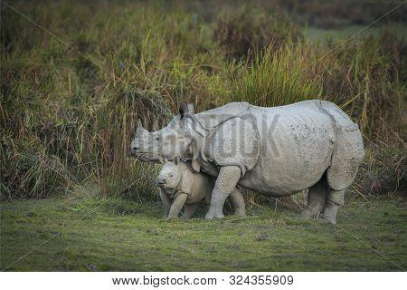 Rhino Mother And Calf At Kaziranga National Park In Assam, India