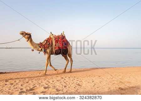 Decorated By A Camel, Standing On The Seashore. Beautiful Photo Of A White Camel On A Sand Beach At