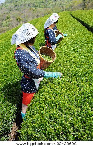 Women harvesting tea leaves