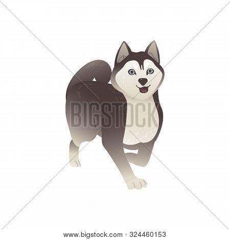 Siberian Husky Dog Walking With Happy Face - Isolated Alaskan Malamute