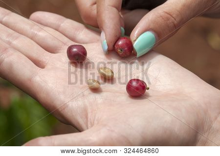 Dalat, Lamdong Province, Coffee Plantations Of The Central Vietnam, Red Grains And Peeled Coffee Gra