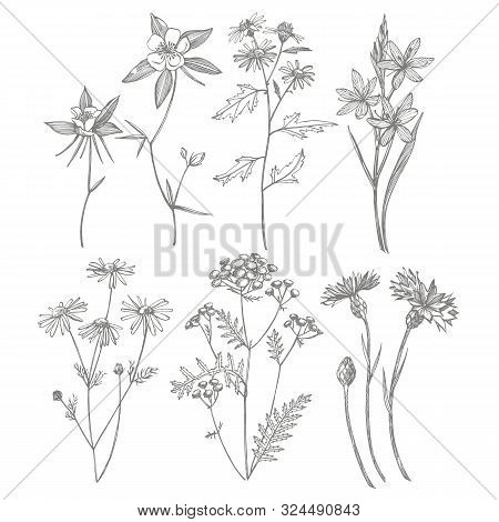 Collection Of Hand Drawn Flowers And Herbs. Botanical Plant Illustration. Vintage Medicinal Herbs Sk