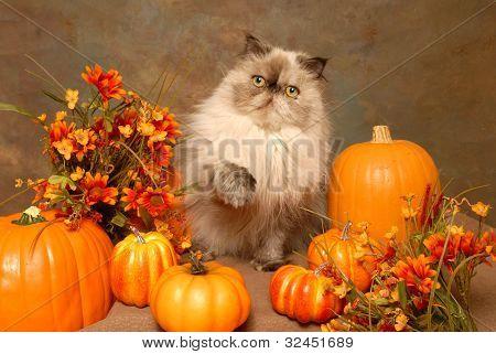 Himalayan Cat and Pumpkins
