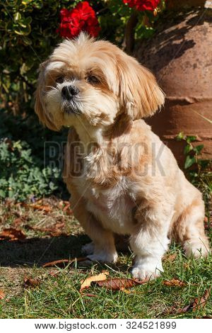 Lhasa Apso Dog Sitting In A Gardenduring Autumn
