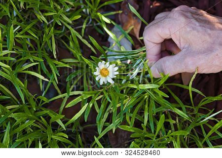Male Hand Holding A White Daisy In A Grassy Field