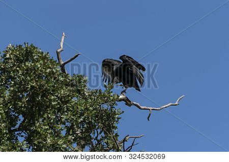 Single Black Vulture Flapping Its Wings And Reaching Out With It Sharp Talons To Grab Hold On A Bare