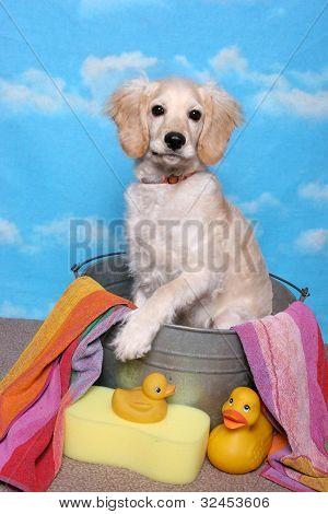 Golden Retriever Puppy In A Bath Tub