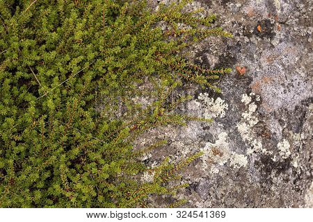 Green Clambering Plant On A Gray Stone Surface. Close-up View. Natural Background
