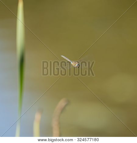 Beautiful Emperor Dragonfly Anax Imperator Insect In Flight With Blurred Wings