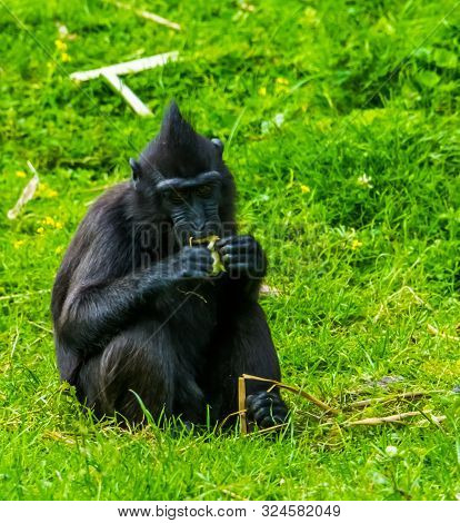 Celebes Crested Macaque Eating Food In Closeup, Critically Endangered Animal Specie From The Tangkok