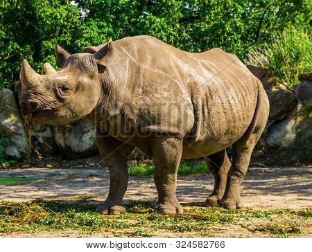 Closeup Of A Black Rhinoceros Eating Grass, Critically Endangered Animal Specie From Africa