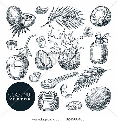 Coconut Sketch Vector Illustration. Broken Coco Nuts With Milk Splashes, Butter, Oil And Palm Leaves