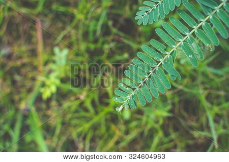The Agasta Leaves Or Sesban Or Vegetable Humming Bird Or Humming Bird Tree Or Butterfly Tree Or Agat