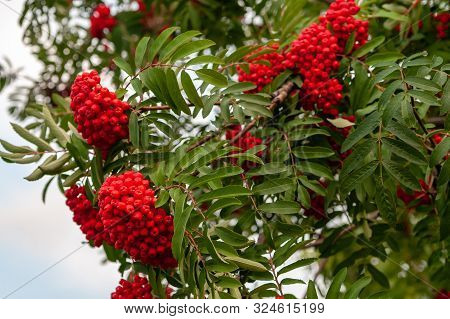 Bunches Of Red Sorbus Aucuparia On A Background Of Green Leaves On A Cloudy Day.