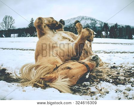 White Horse In The Snow Free Lies. For Horses Is Rolling In Fresh Snow Very Popular Game.