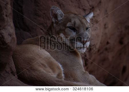 Close Up Of A Mountain Lion Relaxing On A Rock