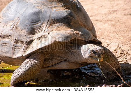 Galapagos Tortoise Walking Across The Ground Chewing On Grass