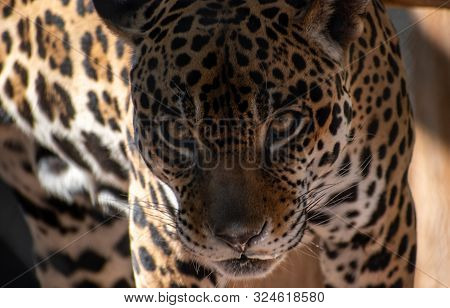 close up of a leopard staring dangerously