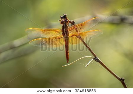 close up of an amber dragonfly on a stick
