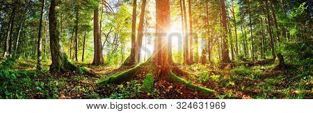 Fir Tree Woods In Early Morning With Beautiful Sunlight