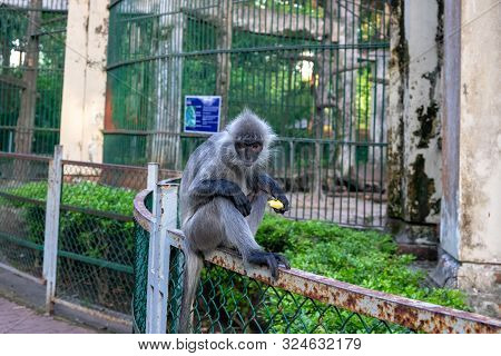 Grey monkey outside of enclosure in zoo. Cute monkey with fruit in tropical environment. Animal free from cage in zoo. Wild animal free from cage. Exotic wild life in asian country poster