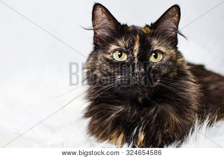 Tortoiseshell Cat Lying On White Fake Fur With White Background