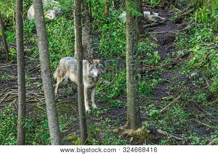 Wolves Family Among Trees In A Dense Forest. The Wolf In The Alert Guards The Sleep Of Other Wolves.