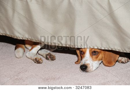 Beagle Under The Bed