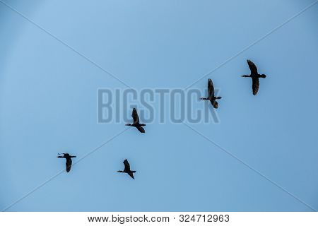 Group Of Big Black Cormorants Flying In The Air