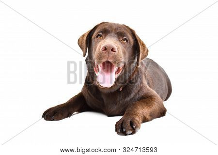Portrait Of Cute Funny Labrador Puppy Lying Isolated On White Background