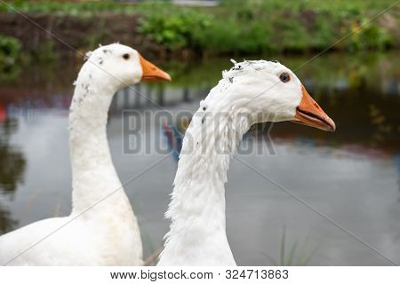 A Flock Of Domestic White Geese Walk Along The Sand Against A Wooden Fence. Rural Landscape. White D