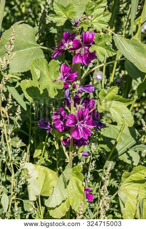 Violet Flowers On The Big Wild Flower Field And Bee