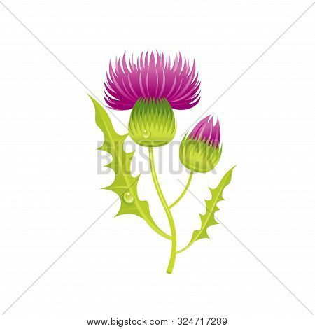 Thistle Flower, Floral Icon. Realistic Cartoon Cute Plant Blossom, Scotland Symbol. Summer Or Spring