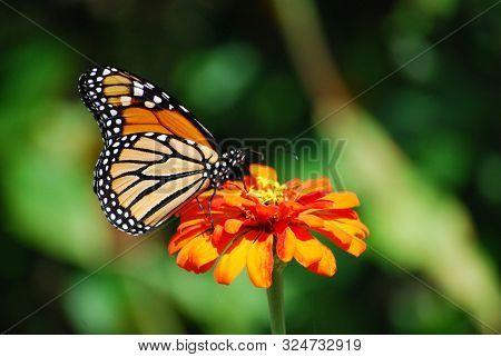 Orange Monarch Butterfly On Orange Flower In Garden