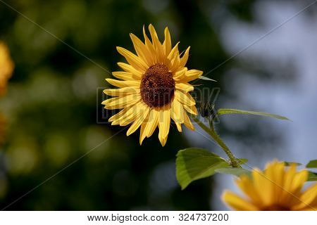 New Sunflower Head In Mid Afternoon On A Sunny Day