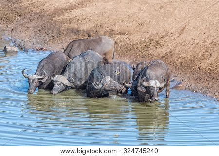 Cape Buffaloes, Syncerus Caffer, In A Pool In A River