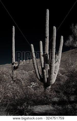 The Sonora Desert In Central Arizona Usa With Saguaro And Cholla Cactus Sepia Toned