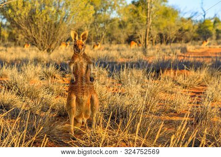 Front View Of A Male Red Kangaroo Standing Outdoors In The Wilderness. Outback Of Central Australia.