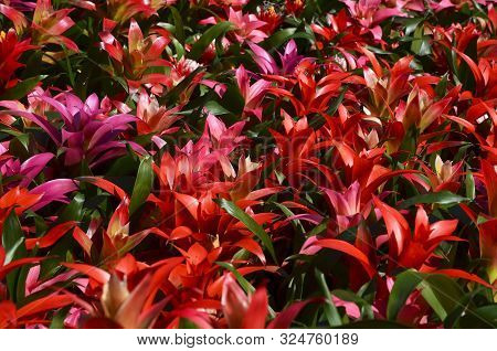 Colorful Guzmania Lingulata Flowers As A Background.bromelias In A Greenhouse Or Flowerbed.scarlet S