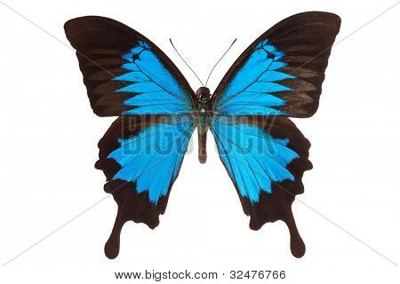 Papilio ulysses butterfly isolated on white background