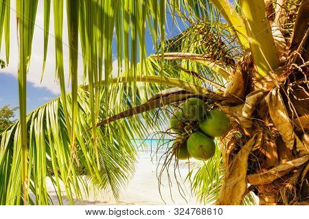 Coconuts Hang From A Palm Tree On A Sandy Beach In Paradise With The Ocean In The Background