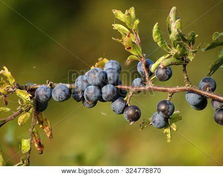 Mature Ternary Fruit (prunus Spinosa L.) Close-up