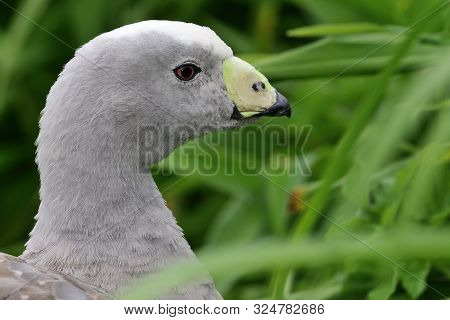 Head Shot Of A Cape Barren Goose (cereopsis Novaehollandiae)