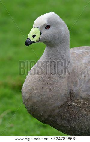 Close Up Portrait Of A Cape Barren Goose (cereopsis Novaehollandiae)