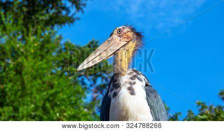 Marabou Stork Bird With Long Beak And Bald Head. African Bird In Zoo. Long Legs And Beak Bird. Carni