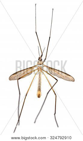 Crane Fly Or Tipula Or Daddy-longlegs Isolated On White Background