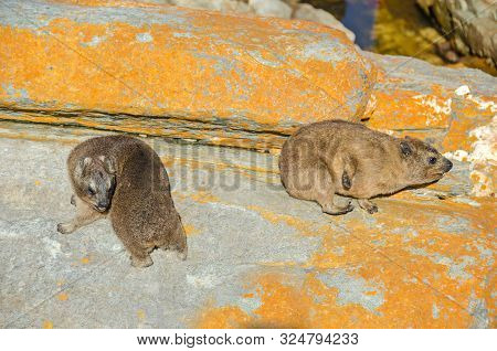 Two Cape Hyraxes (procavia Capensis), Also Known As Rock Hyrax Or Rock Badger, Having Incomplete The