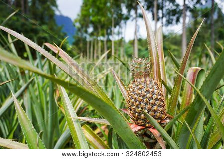 View Of A Pineapple Plantation With Mountains And Trees In The Background In Moorea, French Polynesi