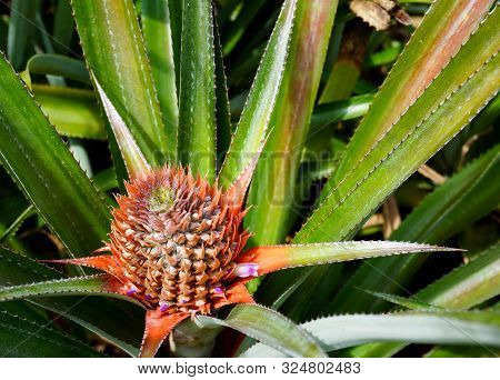 A New Pineapple Begins To Grow In A Field On The Island Of Moorea In French Polynesia